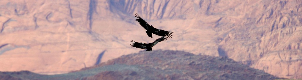 Endangered Condors Threatened With Lead Poisoning